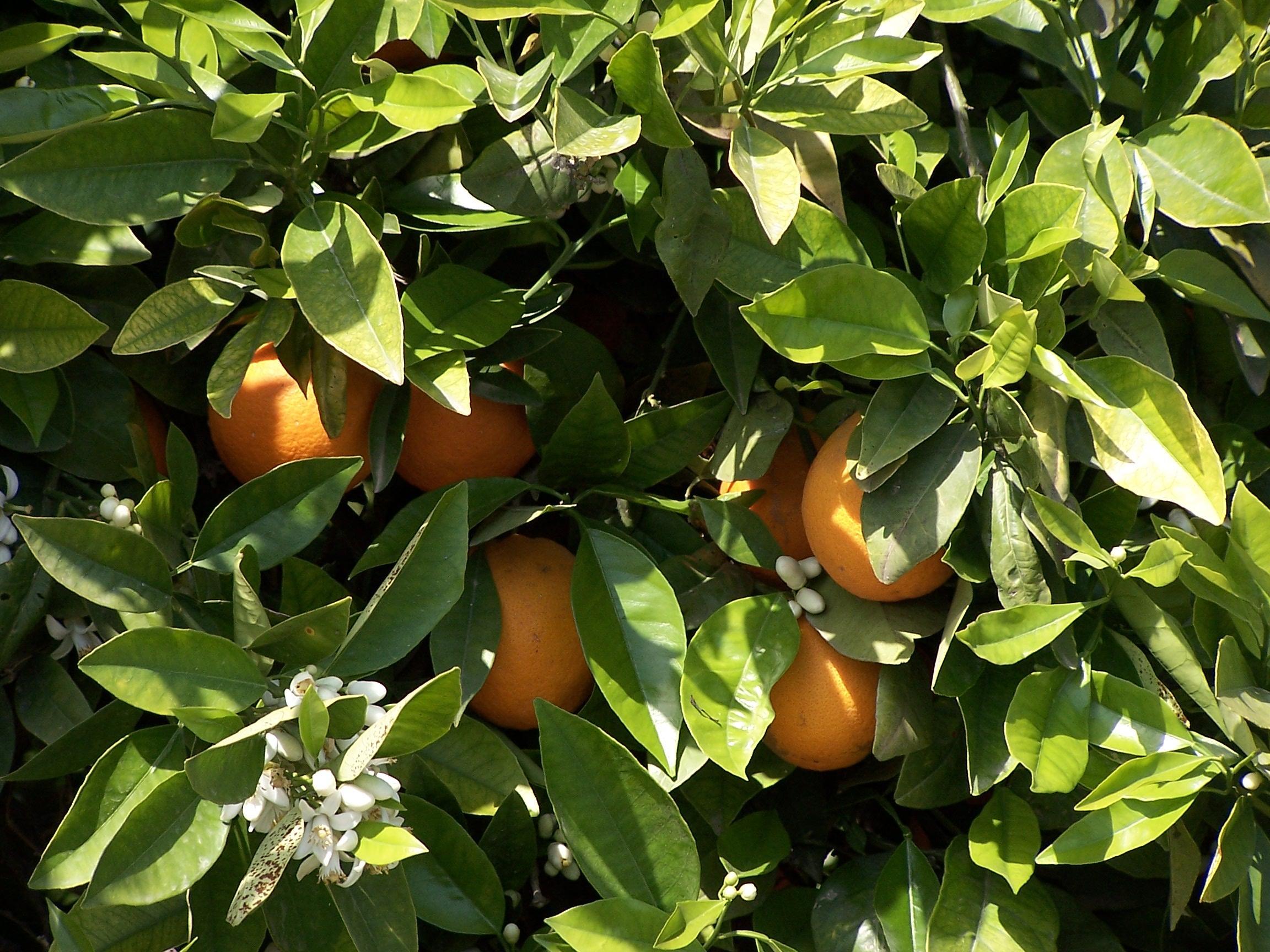 Naranjos de Elche naturalmente sanos