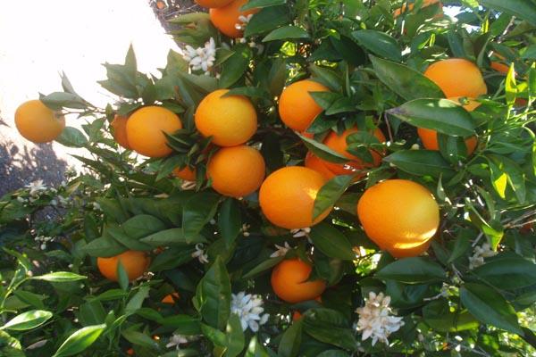 zumo de granada granavida naranjos