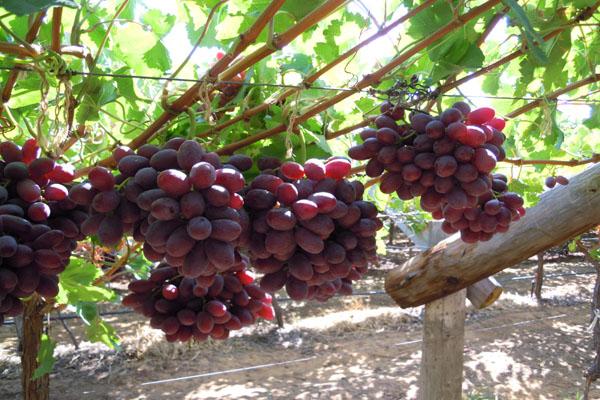 zumo de granada racimos uvas rojas campodeelche 600 x 400