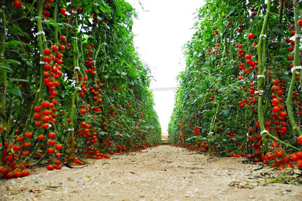 zumo de granada tomateras campodeelche 600 x 400