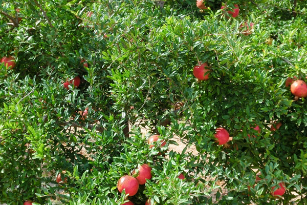 de-donde-proviene-la-granada-fruta